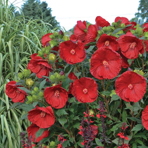 Hibiscus SUMMERIFIC® 'Cranberry Crush'