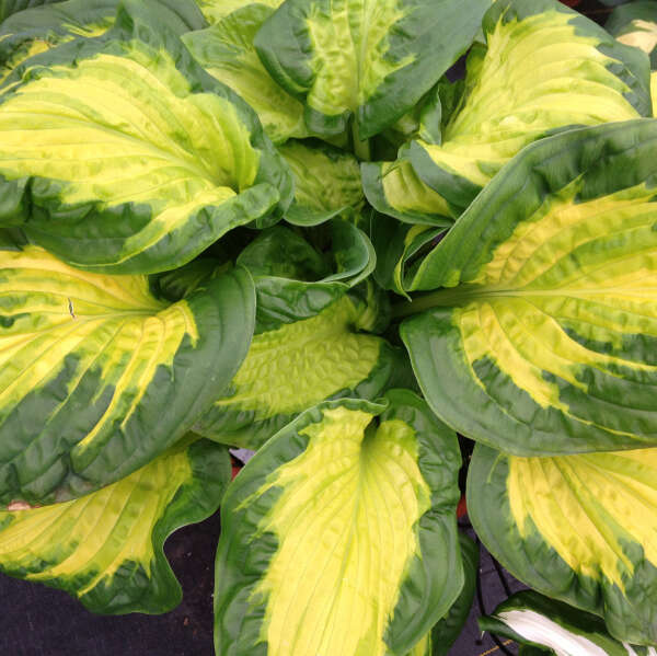 SHADOWLAND® 'Etched Glass' <em>Hosta</em>