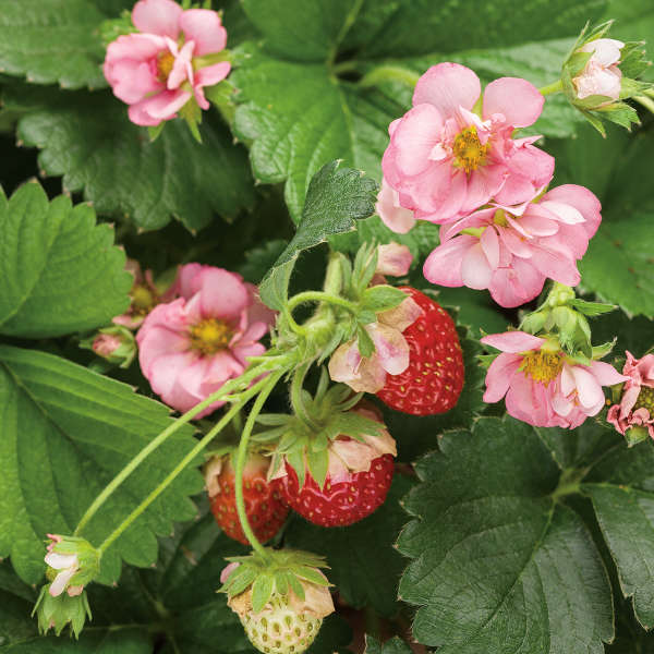 Fragaria BERRIED TREASURE™ Pink (Strawberry)