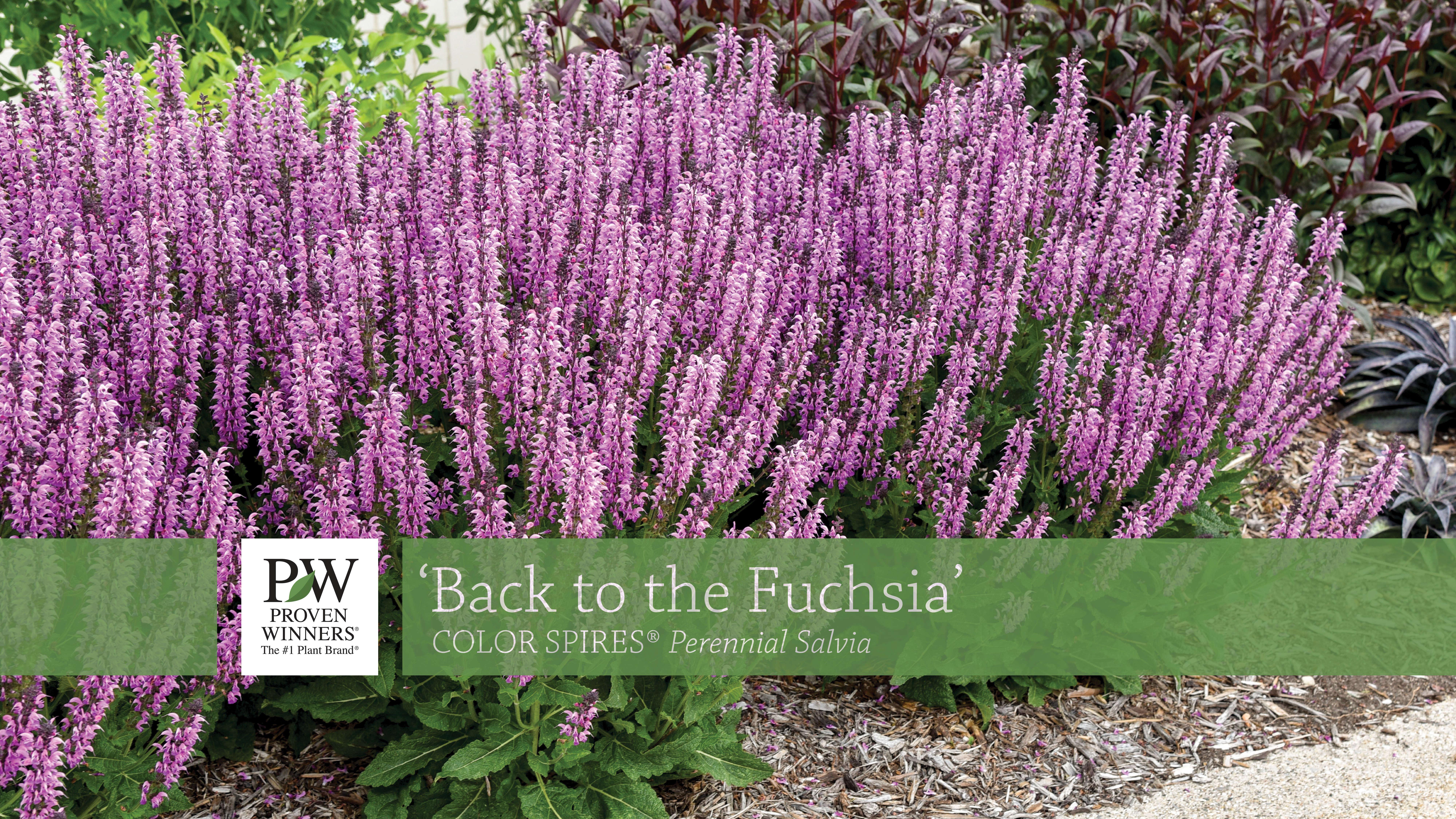 Back to the Fuchsia Salvia