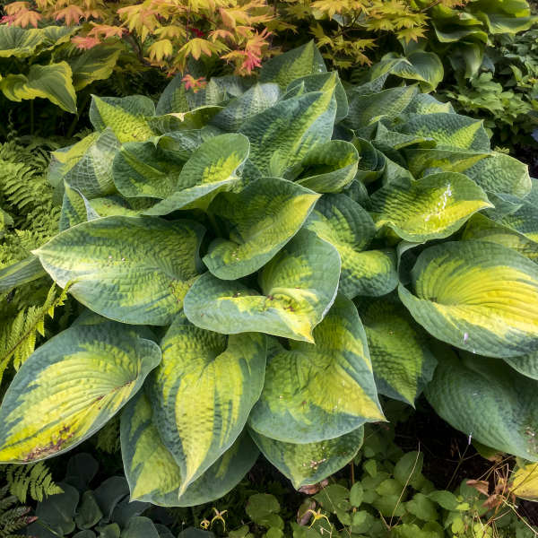 <em>Hosta</em> 'Brother Stefan'