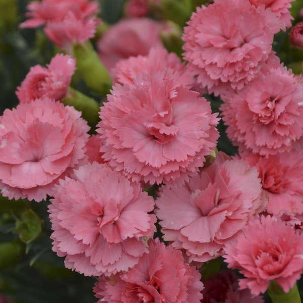 <em>Dianthus</em> FRUIT PUNCH® 'Classic Coral'