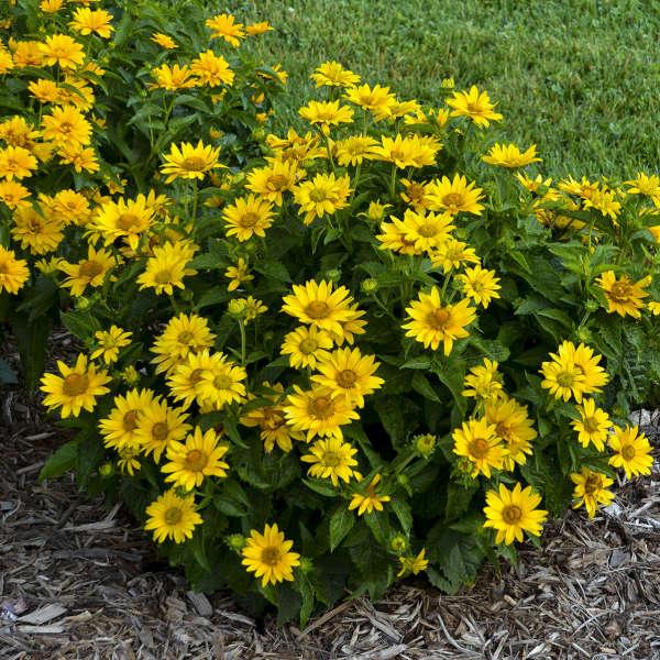Tuscan Gold™ <em>Heliopsis helianthoides</em>