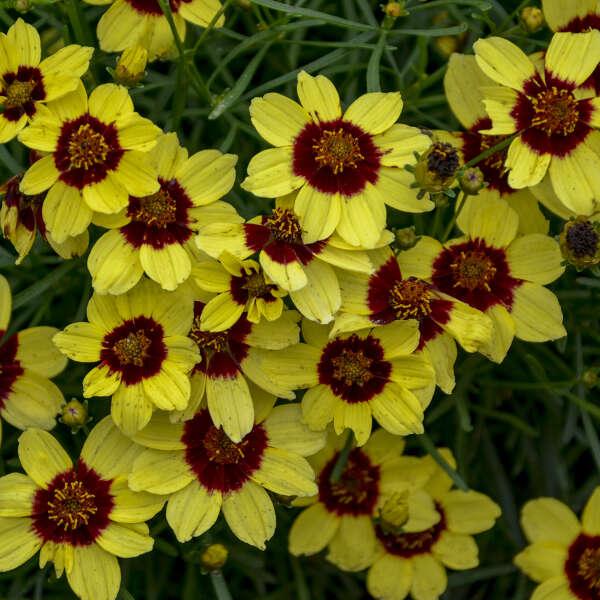 SIZZLE & SPICE® 'Sassy Saffron' <em>Coreopsis verticillata</em>