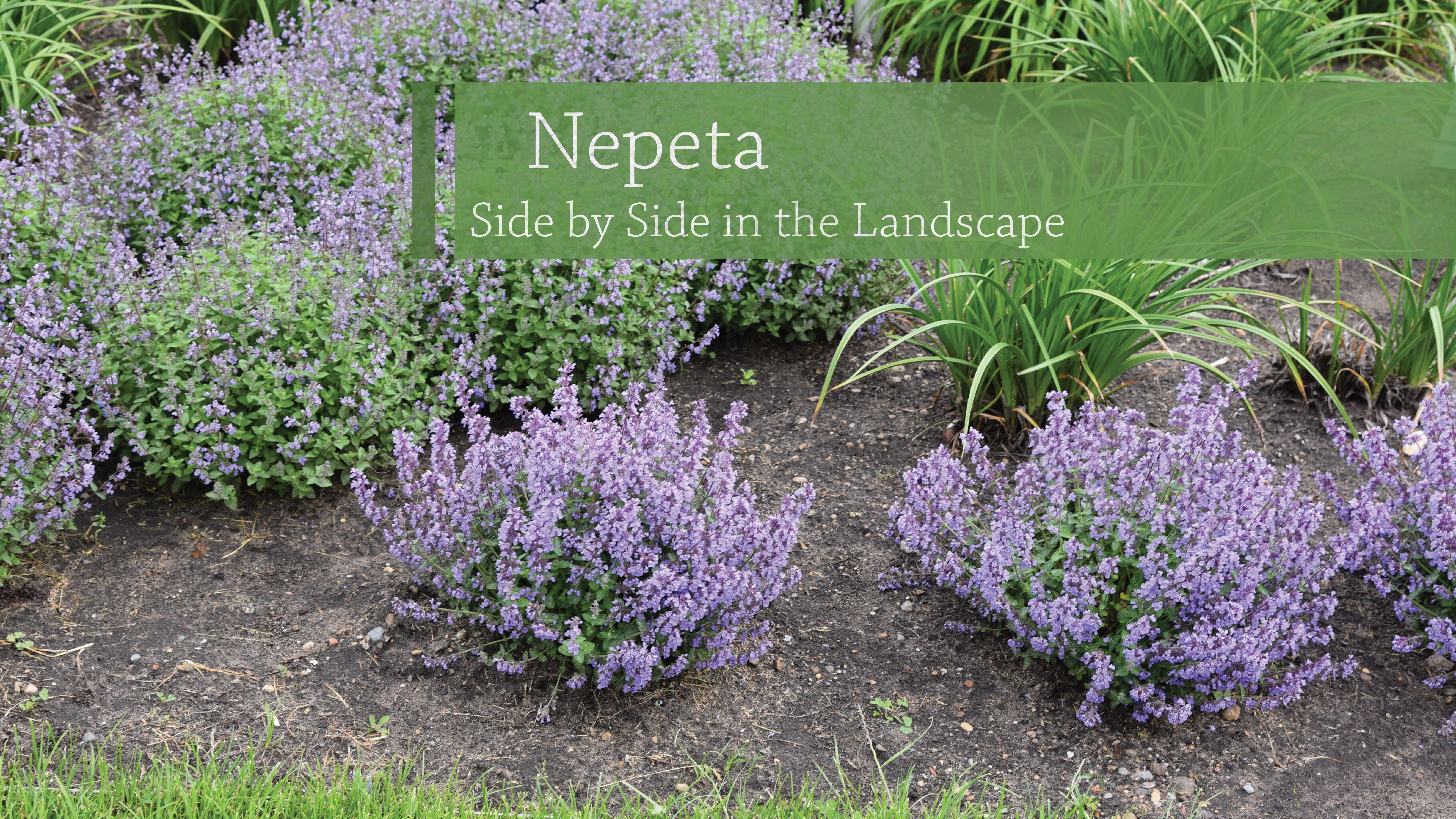 Nepeta Variety Comparison
