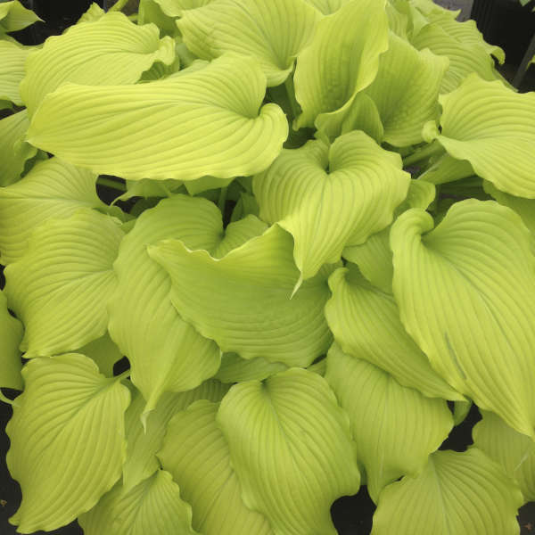 <em>Hosta</em> 'Dancing Queen'