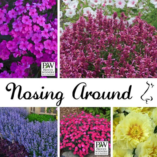 Photo Essay Nosing Around The Garden For Fragrant Perennials Perennial Resource