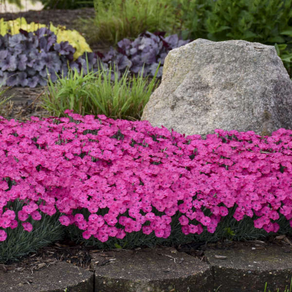 <em>Dianthus</em> 'Paint the Town Magenta'