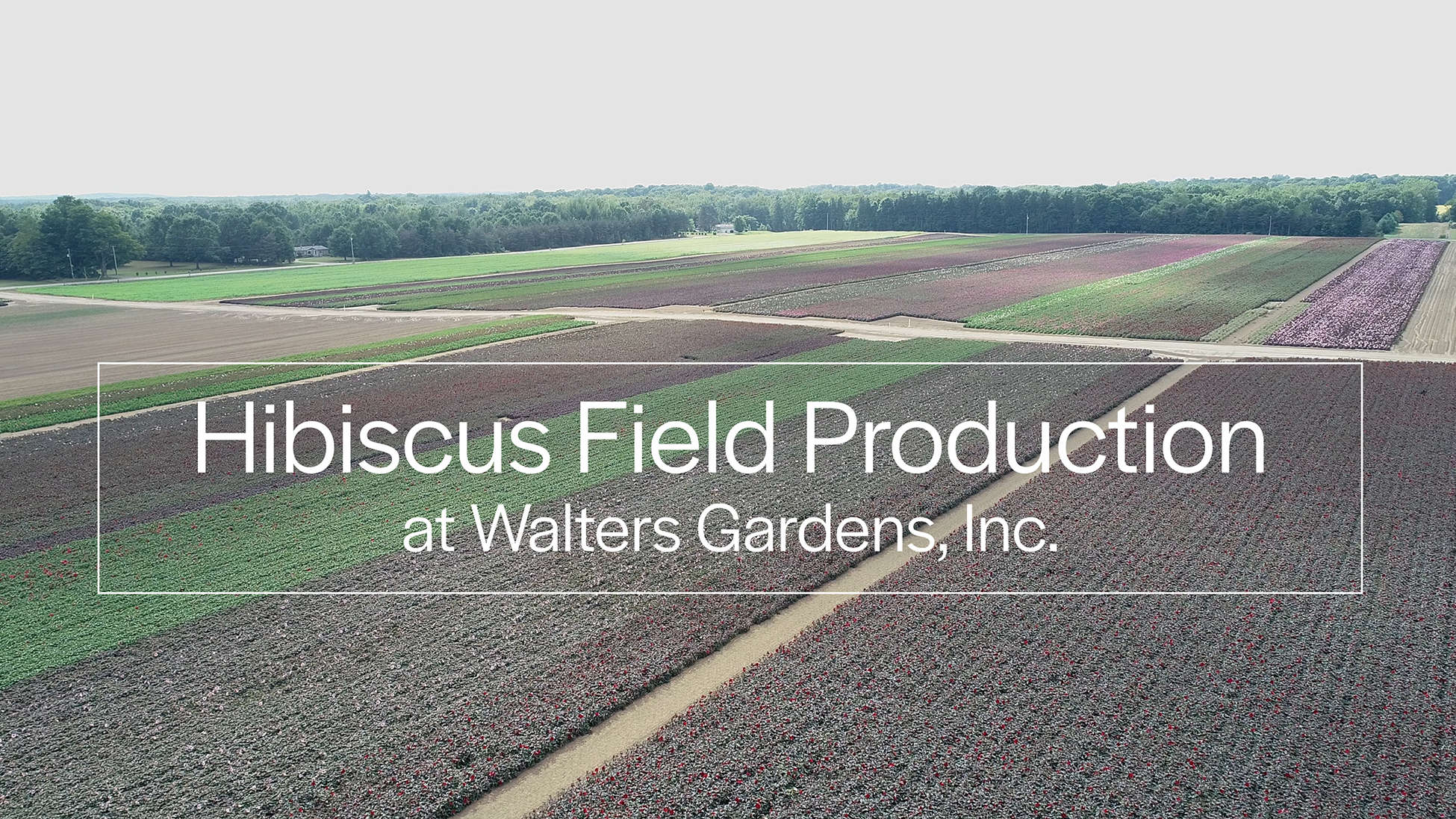 Hardy Hibiscus Fields as seen by Drone