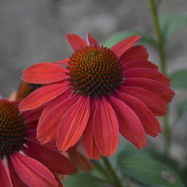 COLOR CODED™ 'Frankly Scarlet' <em>Echinacea</em>