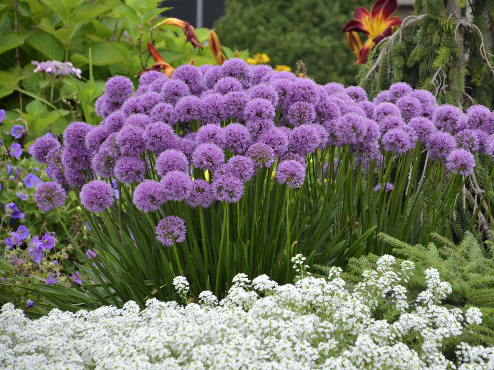 2018 perennial plant of the year allium millenium walters its hard to beat how easy this plant is to grow which is music to many gardeners ears millenium is very versatile in the garden and can thrive in a mightylinksfo