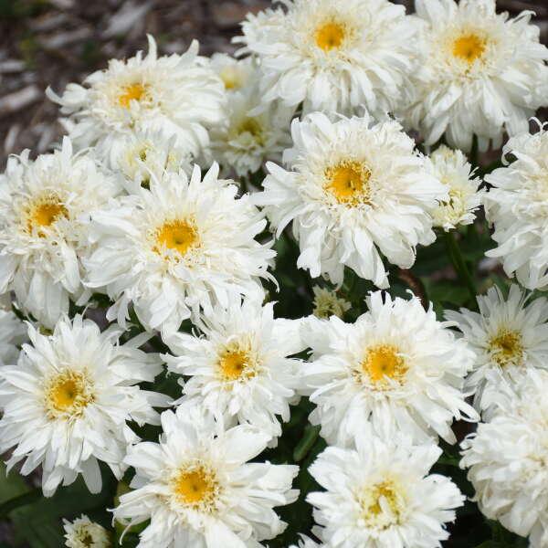 AMAZING DAISIES® 'Marshmallow' <em>Leucanthemum superbum</em>
