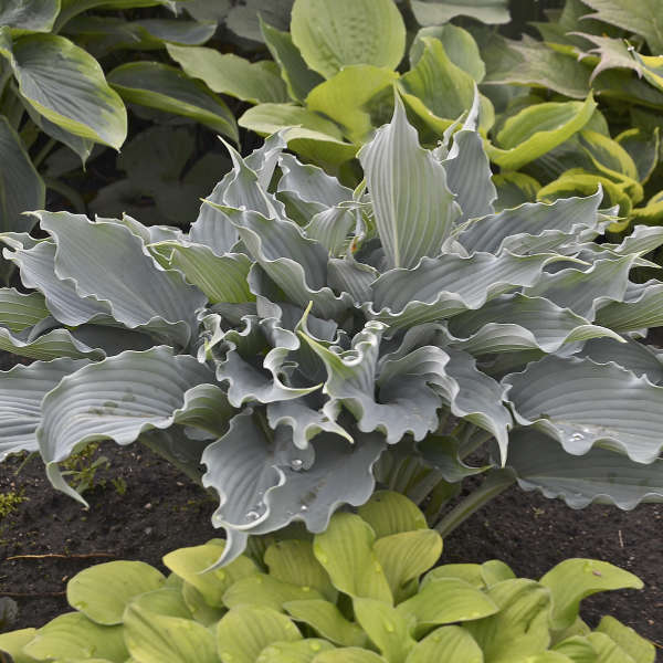 <em>Hosta</em> SHADOWLAND® 'Waterslide'