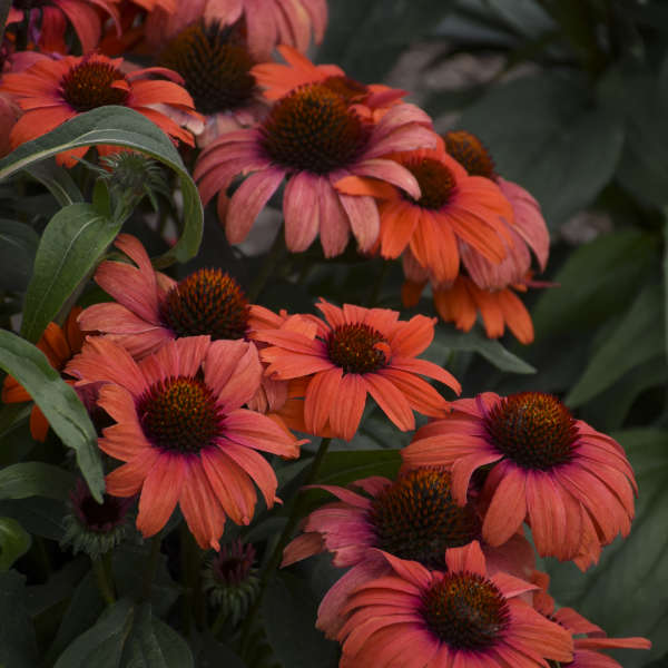 <i>Echinacea</i> EYE-CATCHER™ 'Tanager'
