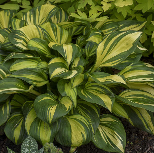 2021 - <em>Hosta</em> 'Rainbow's End'