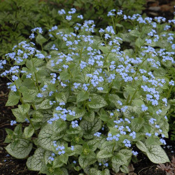 2012 - <i>Brunnera macrophylla</i> 'Jack Frost'