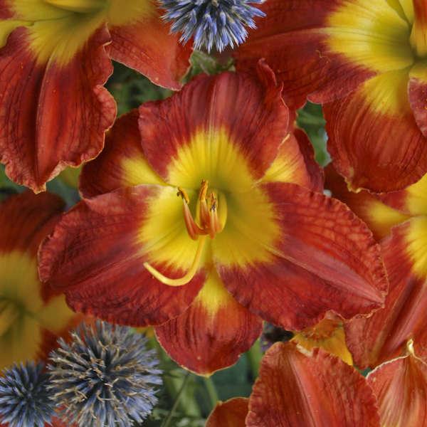 <em>Hemerocallis</em> 'Passion for Red'