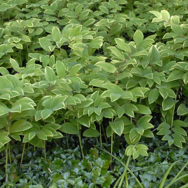 2013 - <i>Polygonatum odoratum</i> 'Variegatum'