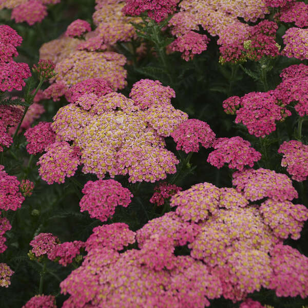 'Sassy Summer Taffy' <em>Achillea</em>