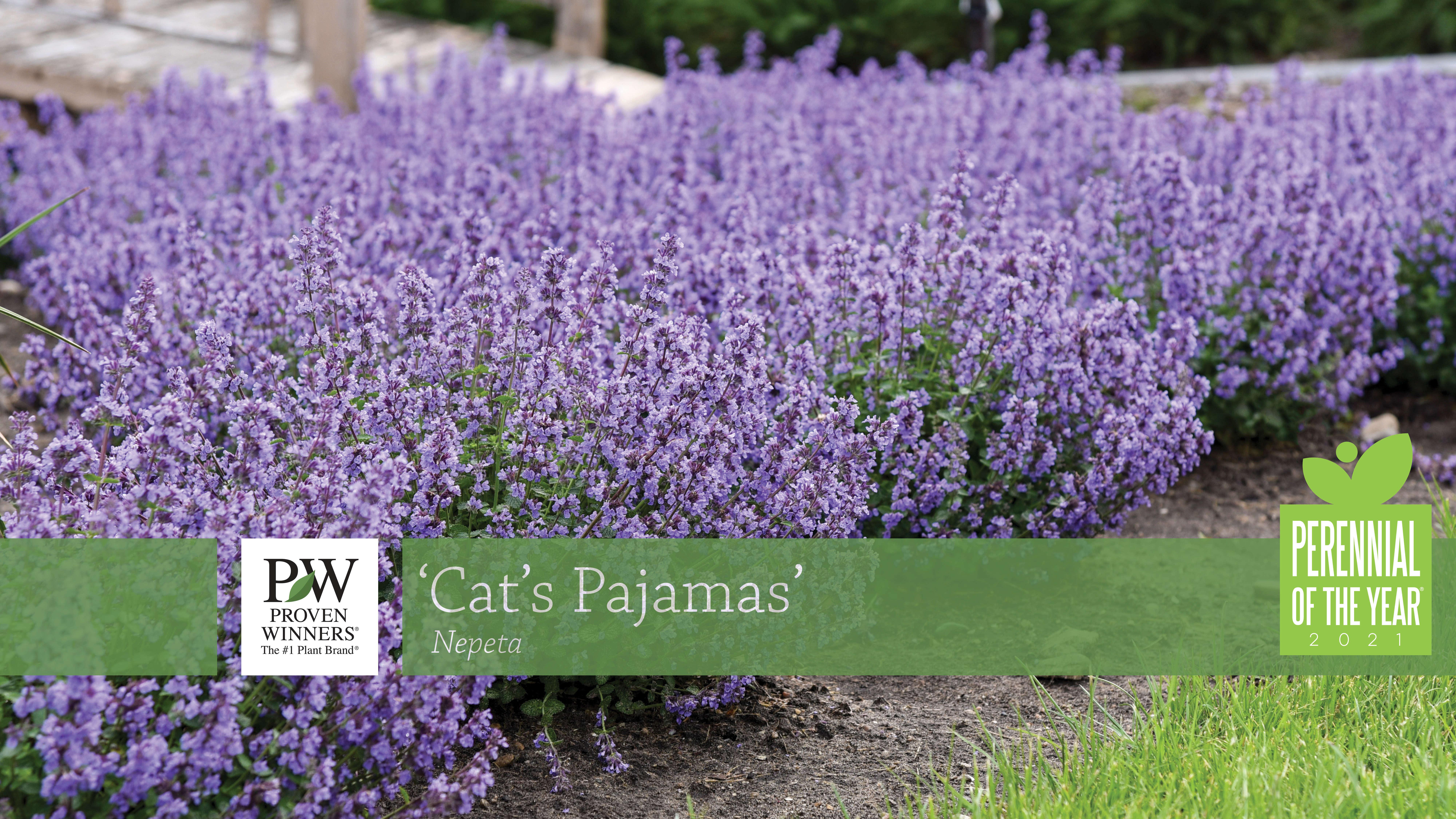 Nepeta 'Cat's Pajamas' Catmint