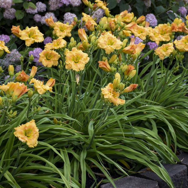Photo Essay 19 Of The Most Popular Perennials Perennial Resource