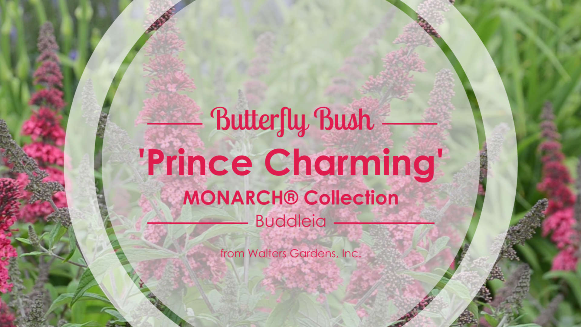 Buddleia 'Prince Charming' Butterfly Bush