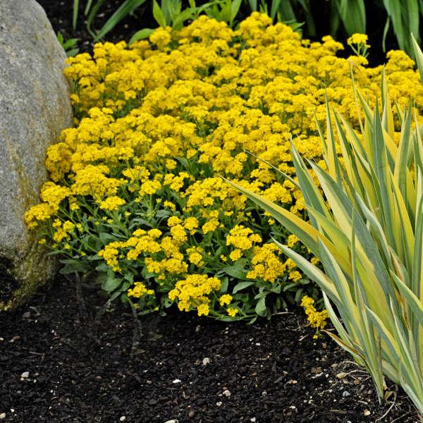Perennials for spring perennial resource aurinia perennial alyssum mightylinksfo