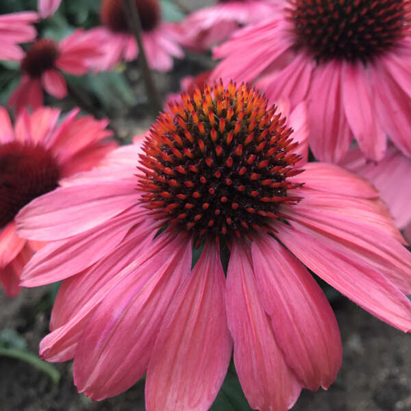 EYE-CATCHER™ 'Coral Craze' <em>Echinacea</em>