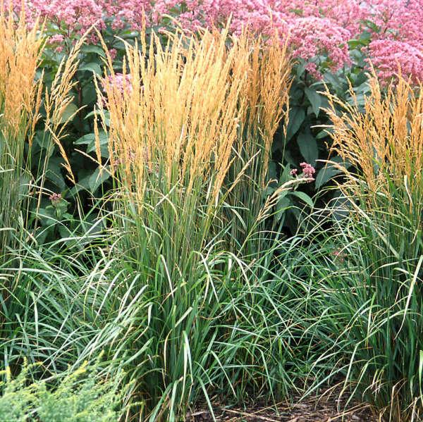 2001 - <i>Calamagrostis acutiflora</i> 'Karl Foerster'