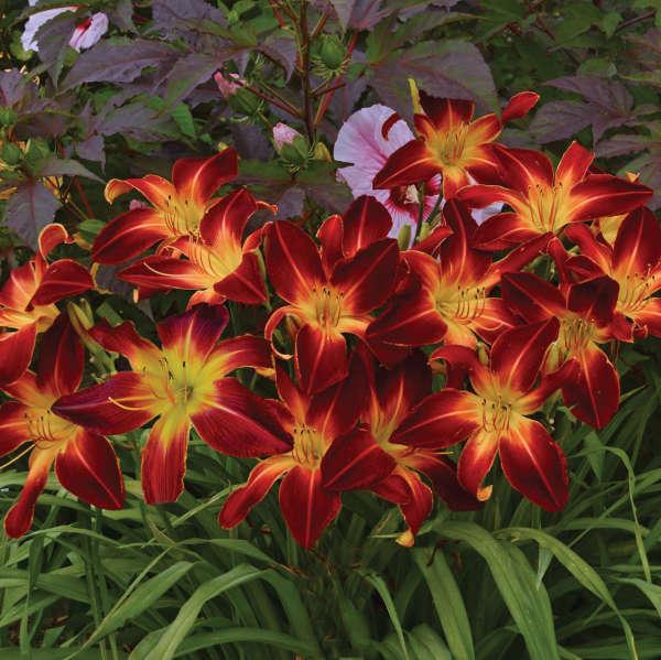 Hemerocallis RAINBOW RHYTHM® 'Ruby Spider'