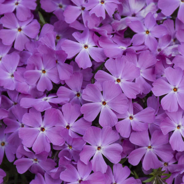 <i>Phlox subulata</i> SPRING BLING™ 'Rose Quartz'