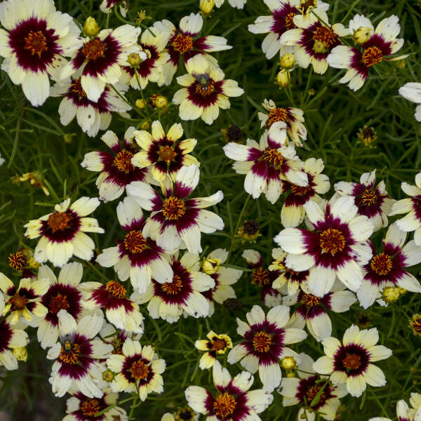 SIZZLE & SPICE® 'Red Hot Vanilla' <em>Coreopsis verticillata</em>