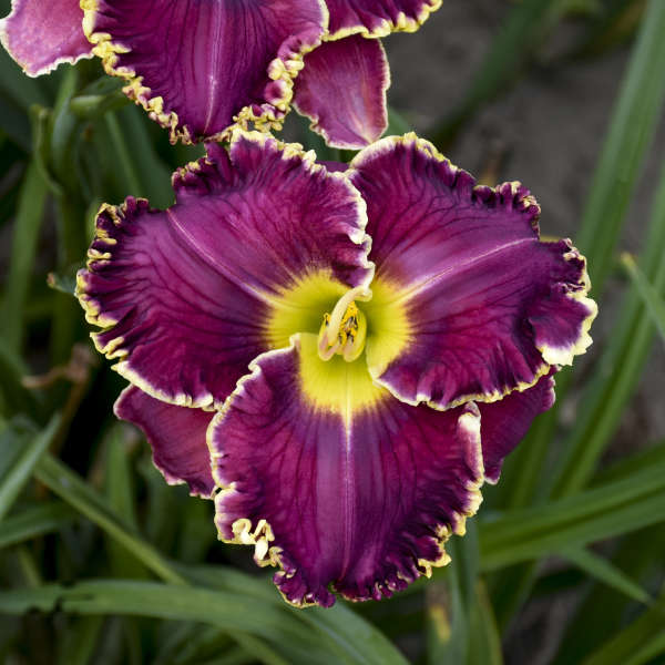 <i>Hemerocallis</i> 'Cosmic Struggle'