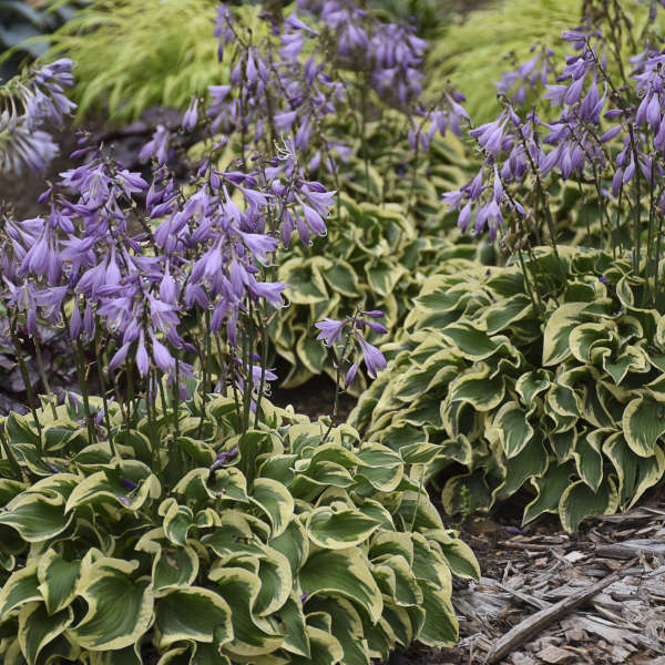 <em>Hosta</em> 'Wrinkle in Time'