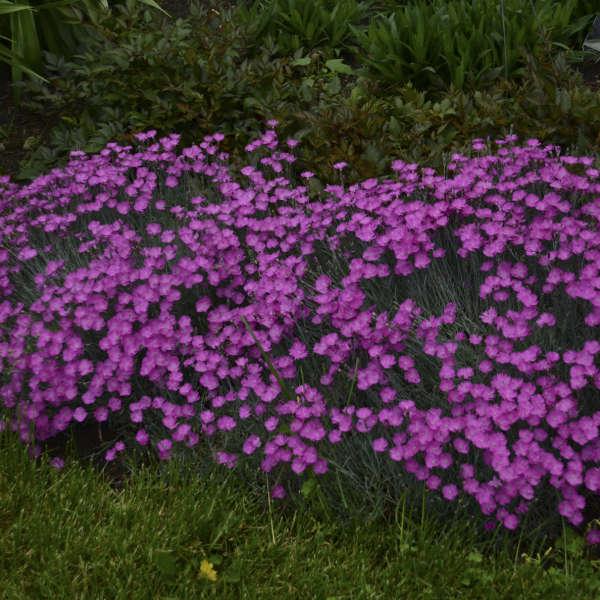 2006 - <i>Dianthus gratianopolitanus</i> 'Firewitch'