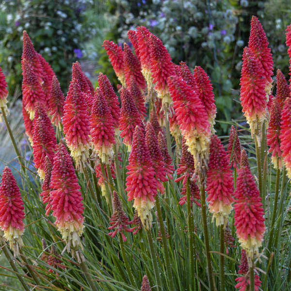 Kniphofia PYROMANIA™ 'Rocket's Red Glare'