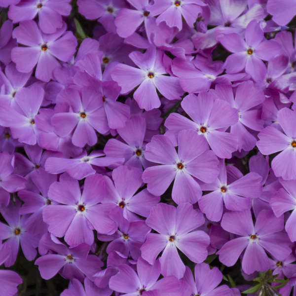 SPRING BLING™ 'Rose Quartz' <em>Phlox subulata</em>