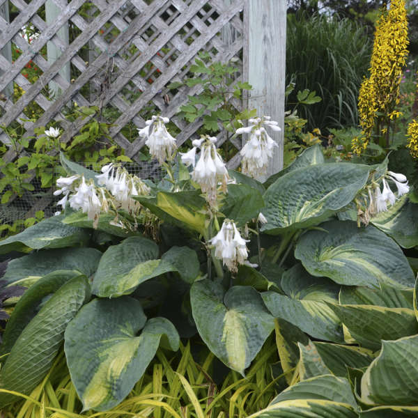 <em>Hosta</em> SHADOWLAND® 'Hudson Bay'