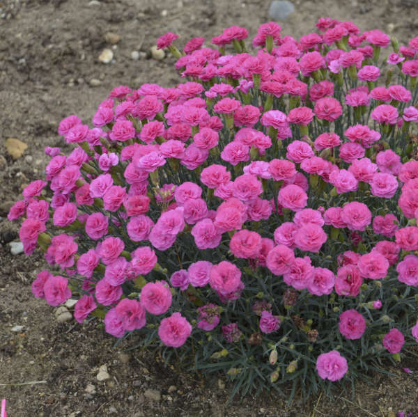 <em>Dianthus</em> 'Double Bubble' - PRETTY POPPERS™ Series