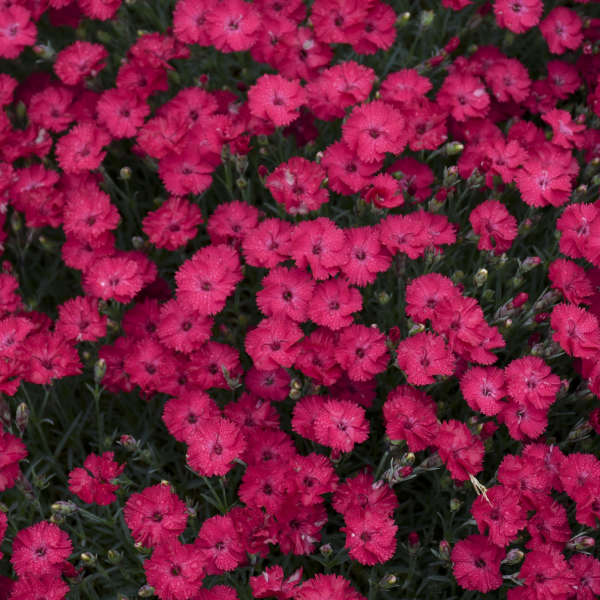 <i>Dianthus</i> 'Paint the Town Red'