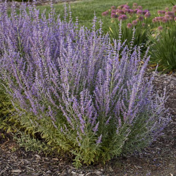 <i>Perovskia atriplicifolia</i> 'Sage Advice'