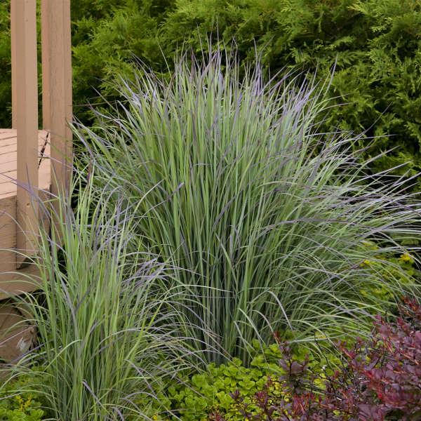 Photo Essay Guide To Common Native Grasses Perennial Resource