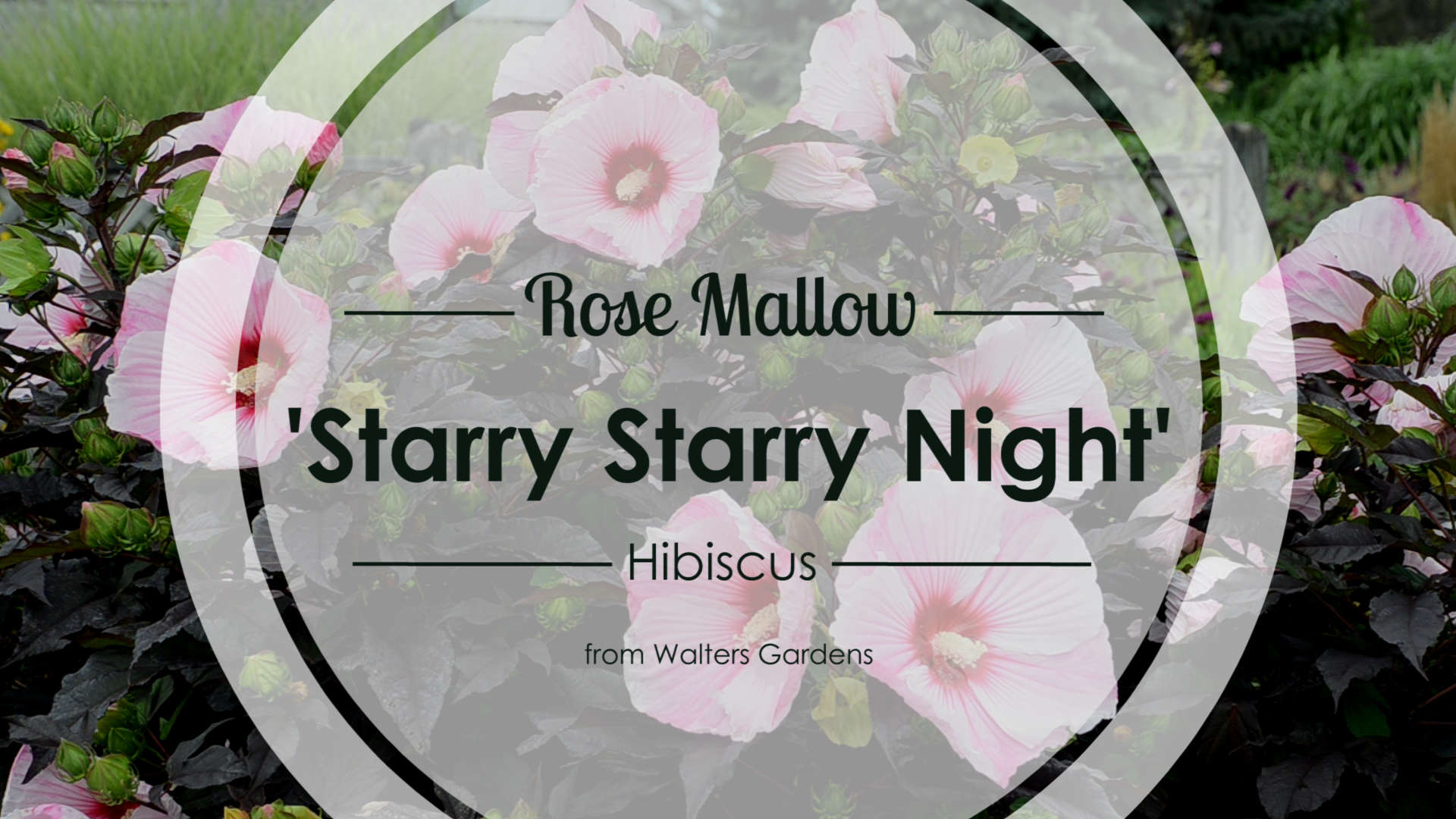 Hibiscus 'Starry Starry Night' Rose Mallow