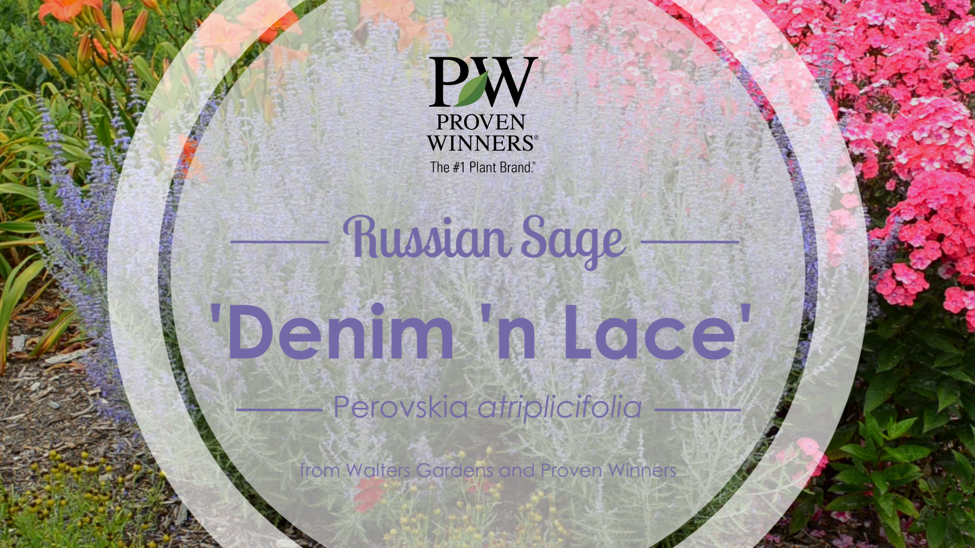 Perovskia 'Denim 'n Lace' Russian Sage