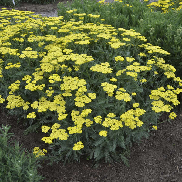 'Sassy Summer Lemon' <em>Achillea</em>