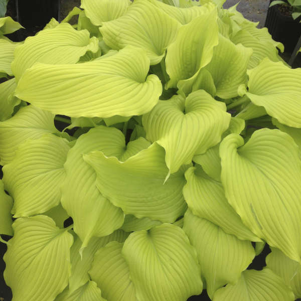 2020 - <em>Hosta</em> 'Dancing Queen'